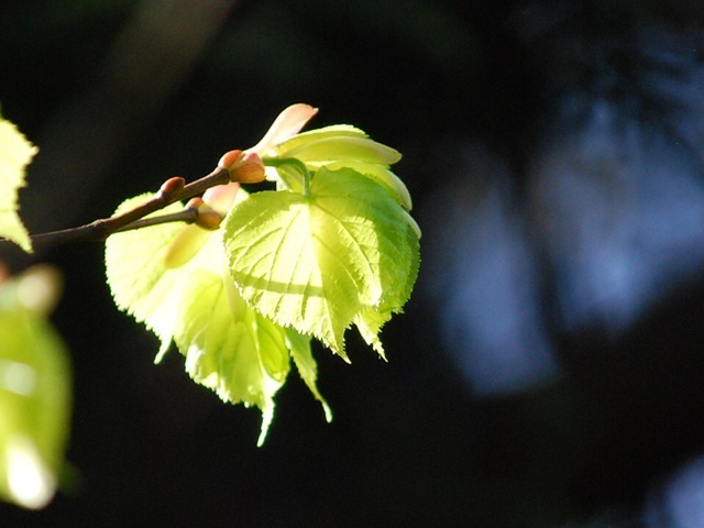 Spring sunlit leaves