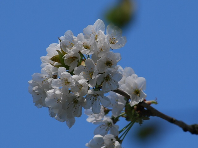 White blossom full flower