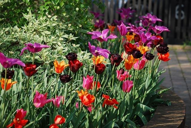 Tulip bed (2)