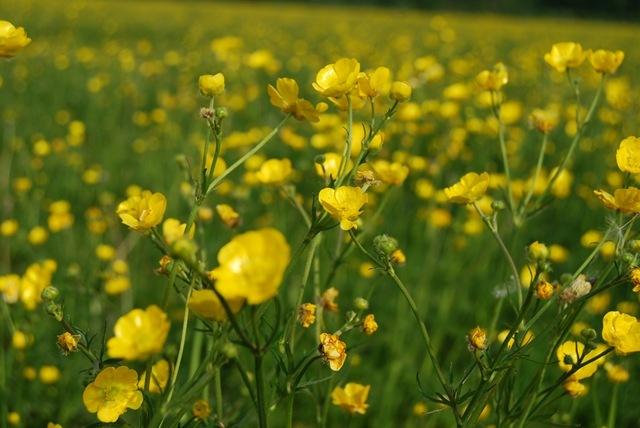 Buttercups field