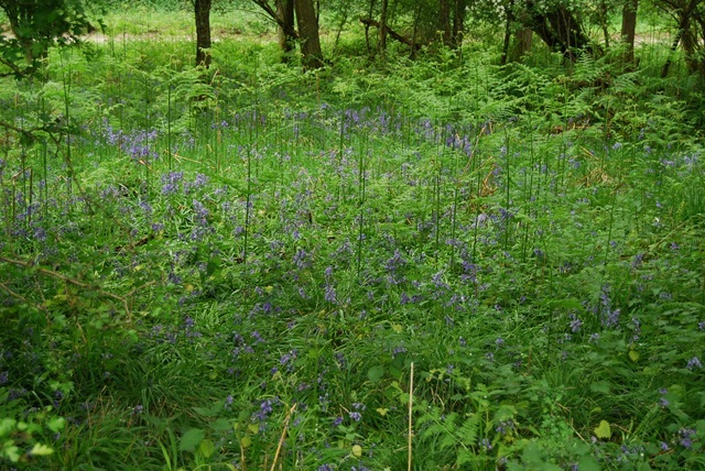 Bluebells on roadside