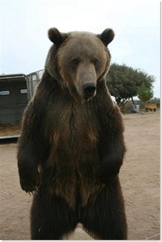 semipro-bear