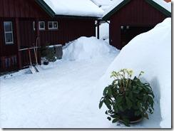 Gråsteinsv23 291209 vinterrosa