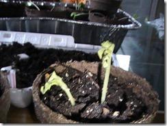 Cantaloupe April 11