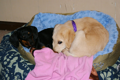 Texas and Baby Pompei are curled up toghethor in a small dog bed