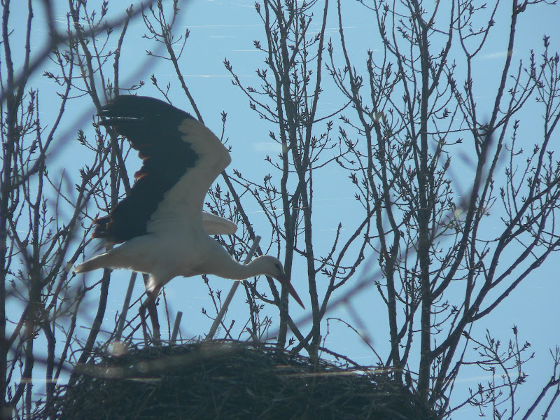 Pelican near its nest