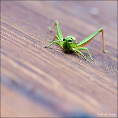 Photo d'une sauterelle verte