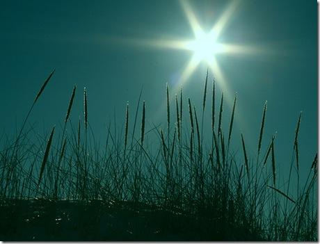 starburstbeachgrass