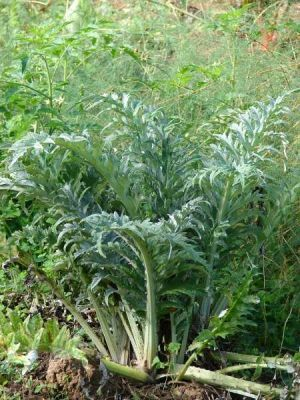 LES PLANTES UTILES AUX CHEVAUX Normal_04751-Cynara-scolymus