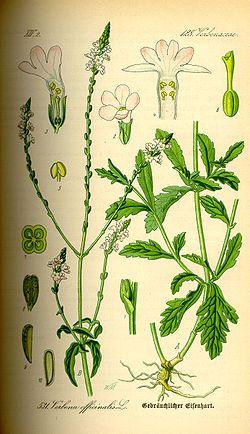 Les plantes utilent aux chevaux  250px-Illustration_Verbena_officinalis0