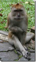 Long-Tailed-Macaques-at-Penang-BG