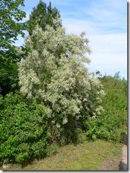 Elaeagnus_angustifolia