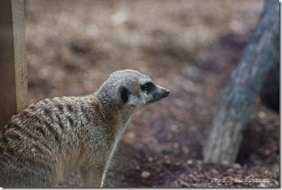 Look at that meerkat!