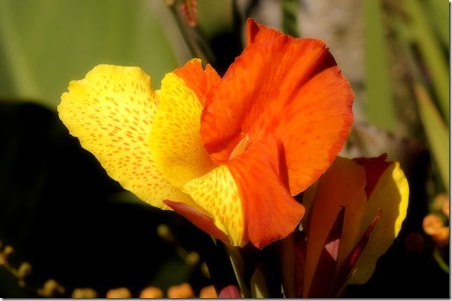 Canna Lily in Patzcuaro