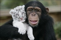chimpance (4)