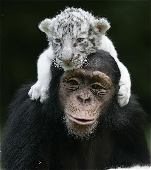 chimpance (13)