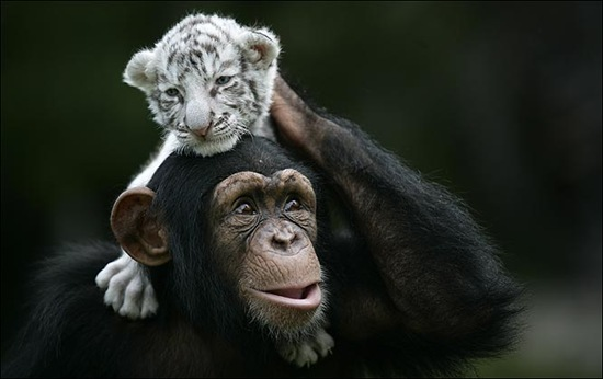 chimpance (12)