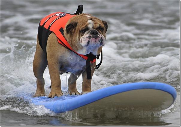 perros surf migallinero (2)