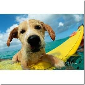 perros surf migallinero (4)