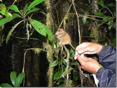 081118-pygmy-tarsier-02