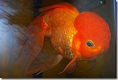 Gold fish 2010