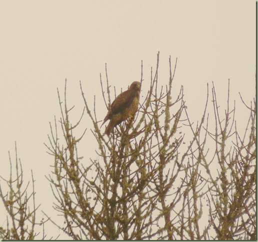 Red-Tailed1