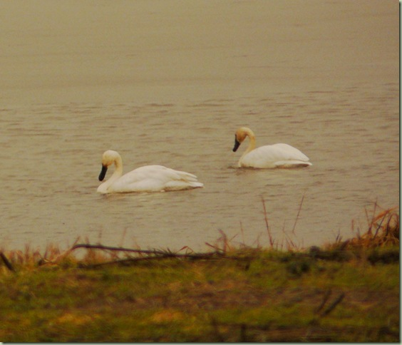 Trumpeter Swans2
