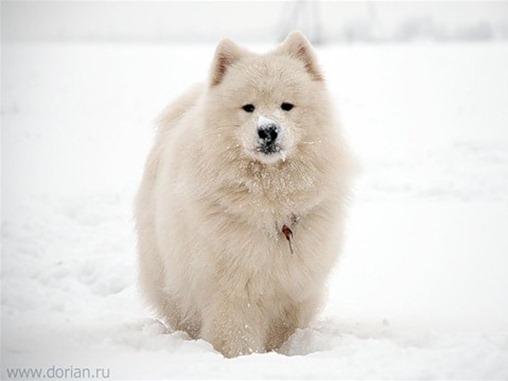 Самые редкие и дорогие породы собак (3 часть), SOFTMIXER