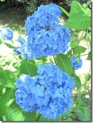 blue hydrangea clup1