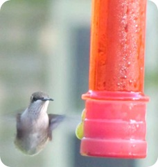 hummingbirds 7