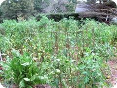 tomato garden 2