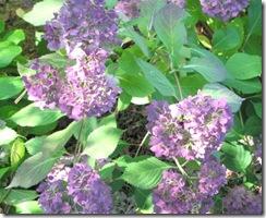 hydrangea late color