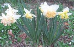 daffodils frilly 3