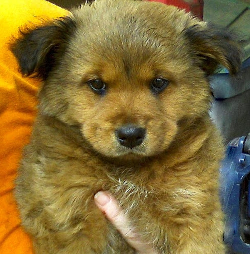 golden retriever mix chow. 2011 golden retriever mix chow