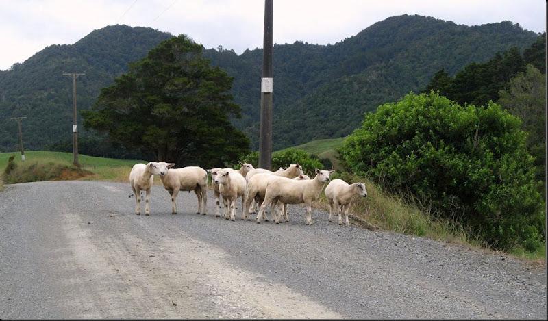 sheep 2011