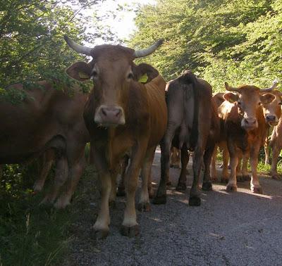 cow herding in italy