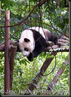 Giant Panda Likes it Easy Here - Chengdu, Sichuan Province, China