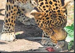 leopard & mouse