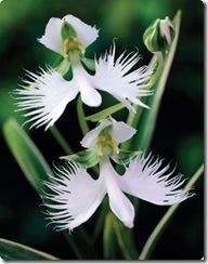 egret flower