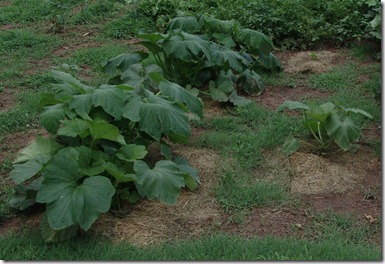 garden and g.b. squash 004