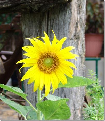 Sunflower, donkeys and phlox 002