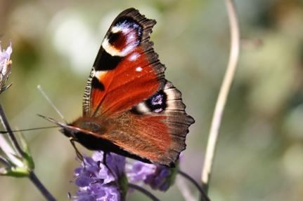 sommerfugl4aa