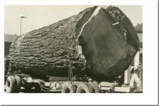 enormes árboles talados cosasdivertidas (9)