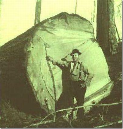 enormes árboles talados cosasdivertidas (17)