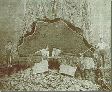 enormes árboles talados cosasdivertidas (26)