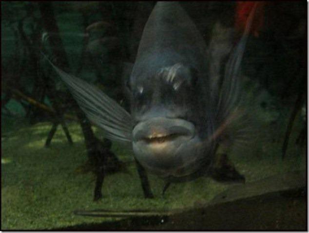 caras de pez casi humana migallinero (6)