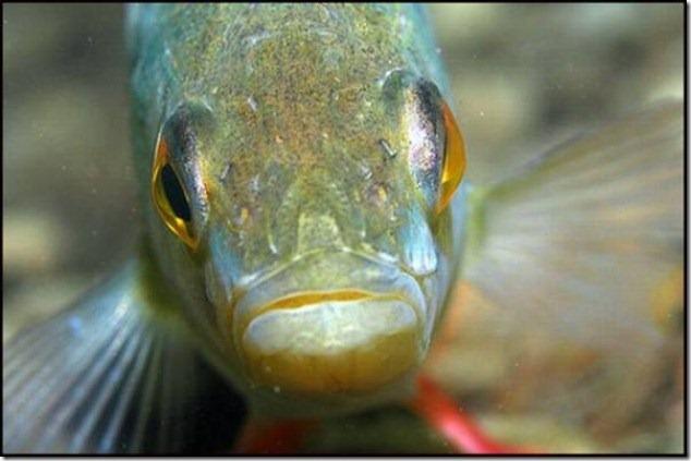 caras de pez casi humana migallinero (112)