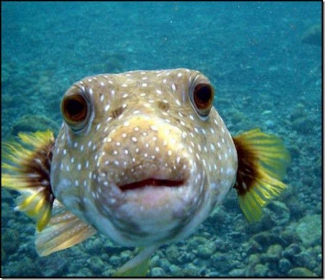 caras de pez casi humana migallinero (118)