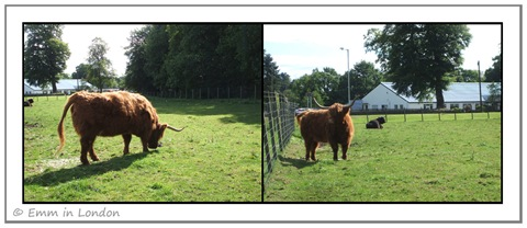 Highland Cattle - Crieff Visitors Centre