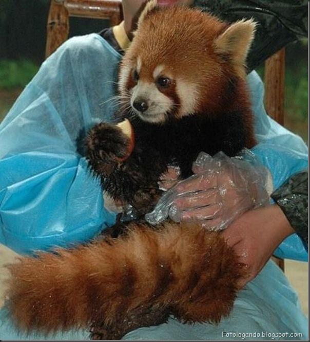 Panda Vermelho (9)